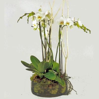 Orquídea Camboya
