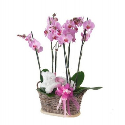 Orquídea Olimpia