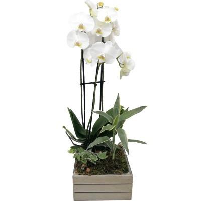 Orquídea Bali