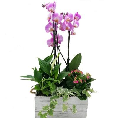 Orquídea Malasia