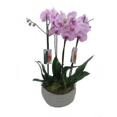 Orquídea Indonesia