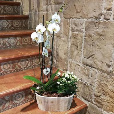 Orquídea Maldivas